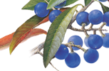 Blue Quandong botanical painting, signed limited edition print by botanical artist Margaret Saul